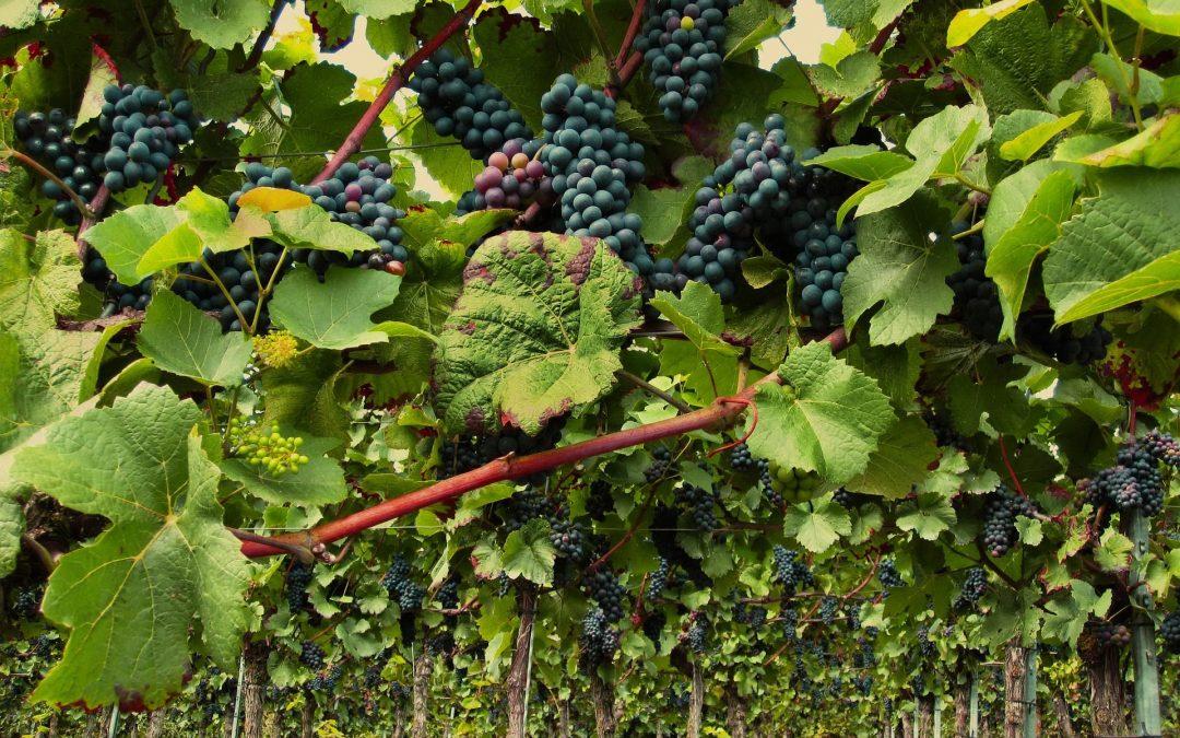 Els vins Pinot Noir a Espanya