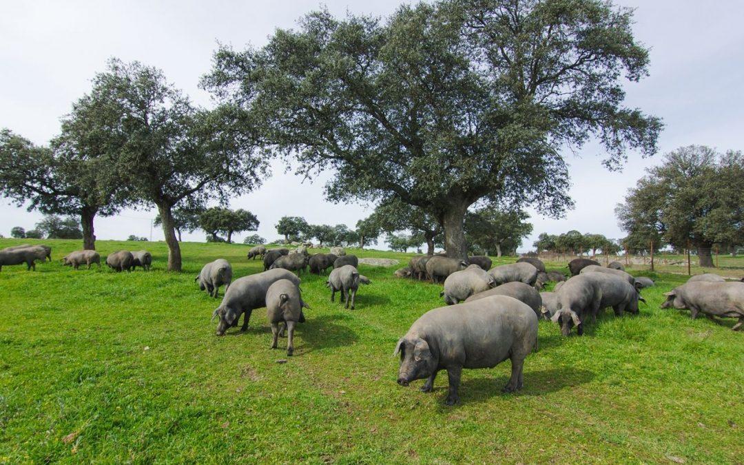 El cerdo ibérico, sus partes más apreciadas